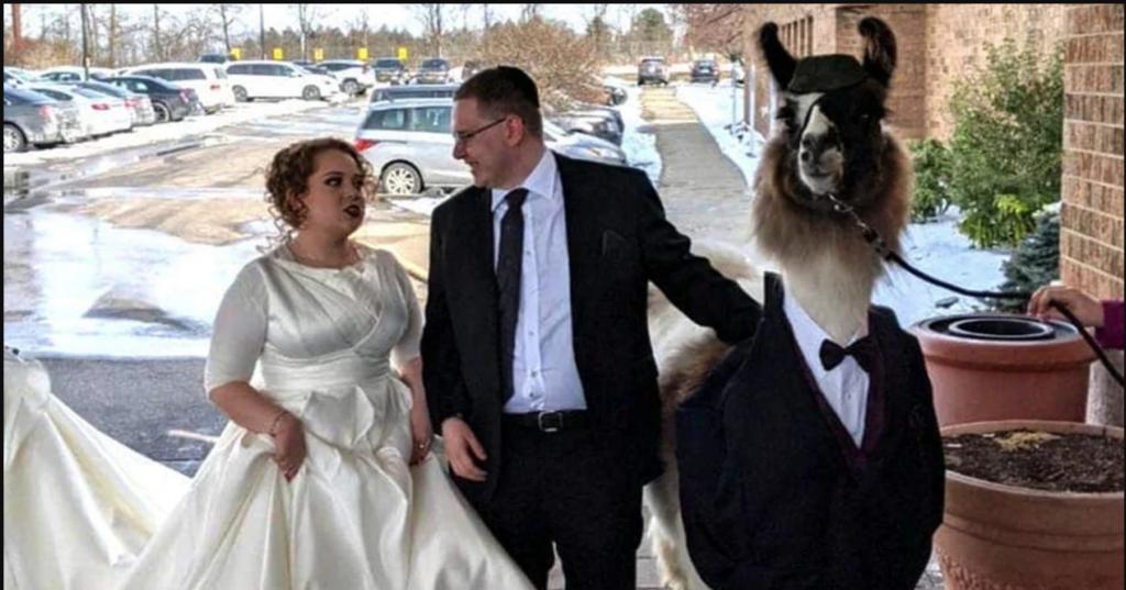 Cet homme a emmené un lama en smoking au mariage de sa soeur et elle n'a pas du tout apprécié