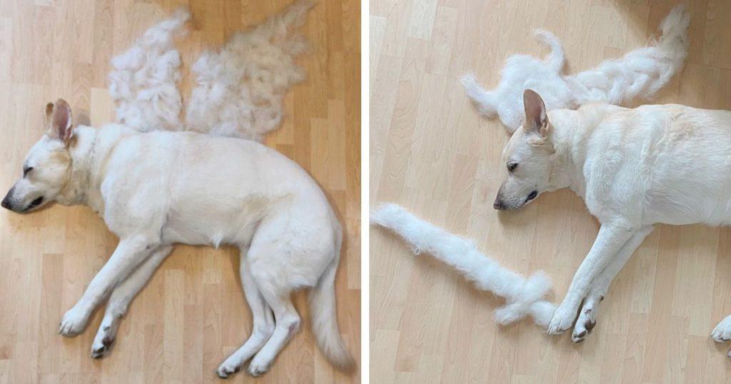 Une femme transforme les poils perdus de son chien en art