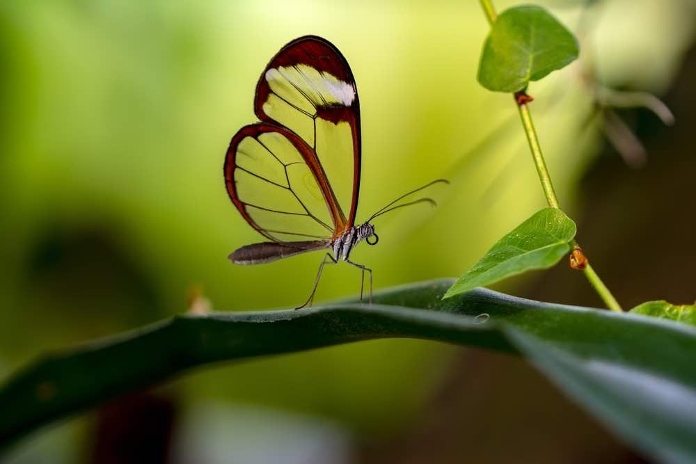 De superbes papillons Greta oto ont des ailes qui ressemblent à des fenêtres