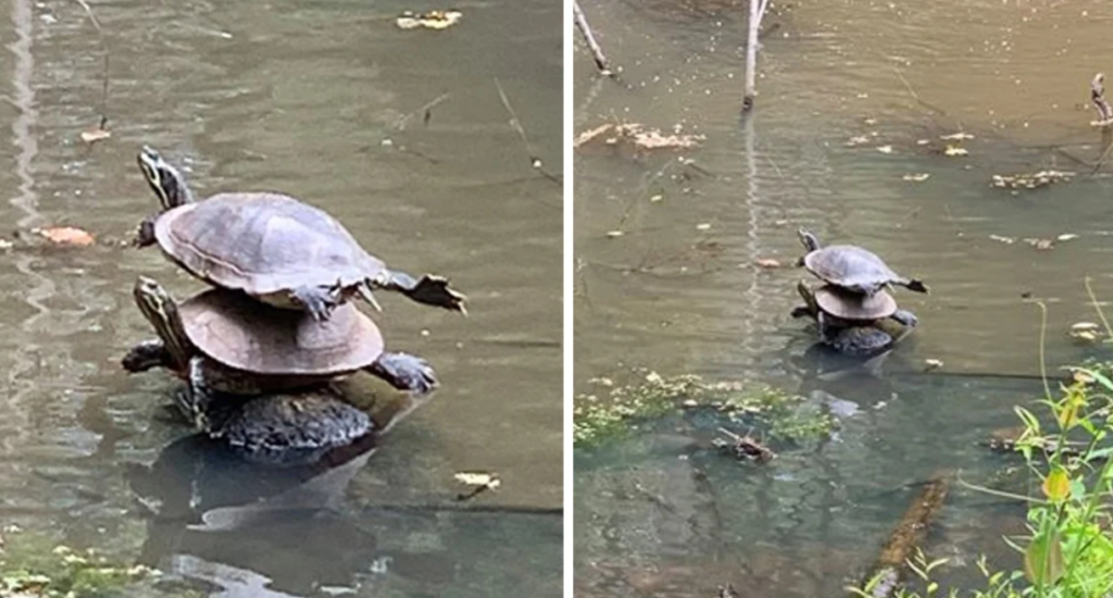 Une femme en promenade aperçoit une pile parfaite de tortues au beau milieu d'un ruisseau